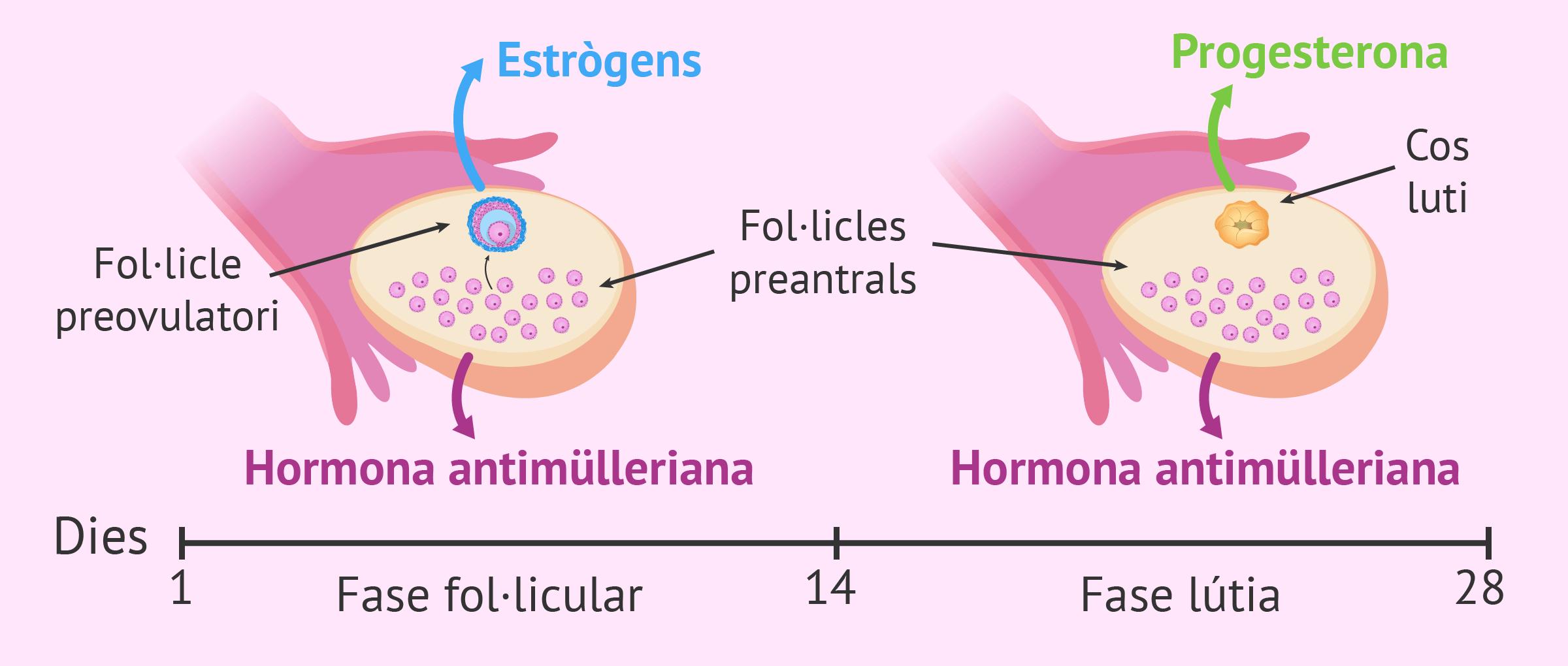 Imagen: Hormones sexuals alliberades per l'ovari